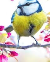 Bird, Blossom Flowers, Springtime