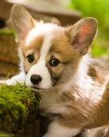Adorable Pembroke Welsh Corgi Puppy