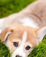 Lazy Pembroke Welsh Corgi Puppy