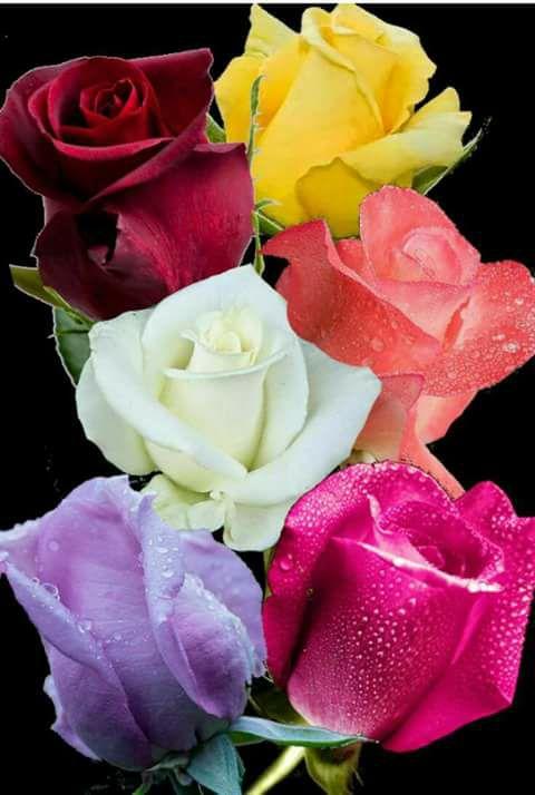 Free roses22.jpg phone wallpaper by tribeca