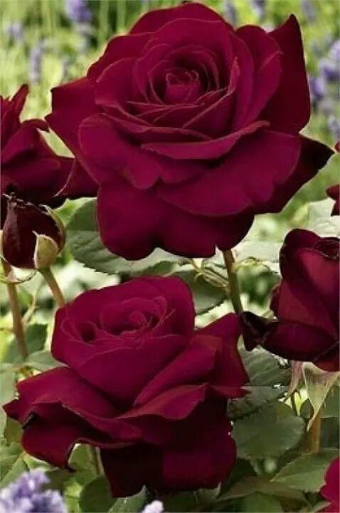Free carnation.jpg phone wallpaper by tribeca