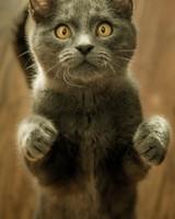 Gray Cat Standing