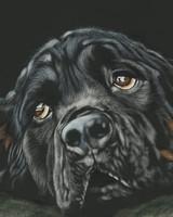 Black Rottweiler Breed Dog