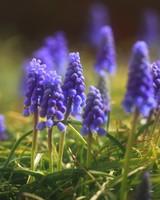 Muscari, Grape Hyacinth Flowers