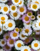 Daisies Flowers Overhead Photography
