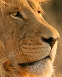 lion wallpaper 1