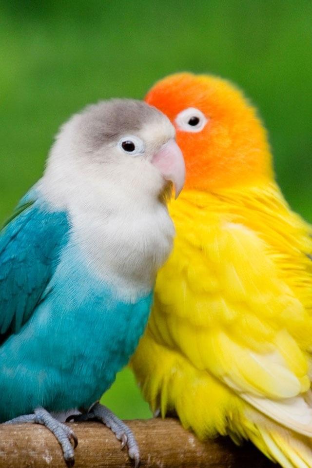Free love birds phone wallpaper by ash_ketchump