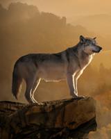 Wolf, Rock, Precipice, Predator