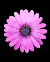 Margarita Purple Daisy flower
