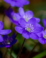 Purple Hepatica Spring Flowers Macro