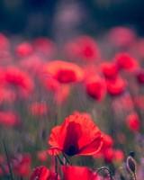 Red Poppies Field, Wild Flowers