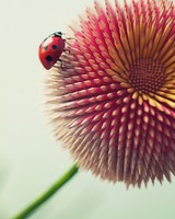 Ladybug on Pencil flower