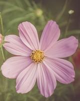 Cosmos, field flower, petals, pink
