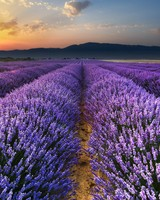 Lavender, field, flowers, horizon