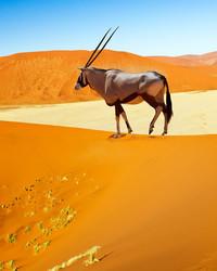 Desert Antelope Oryx