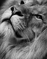 Lion Monochrome