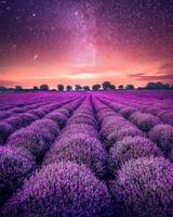 Starry Sky Lavender field