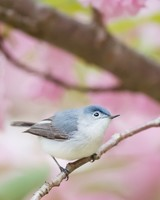 Blue-gray Gnatcatcher bird, Spring