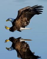 Bald Eagle Bird catching prey