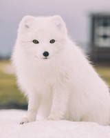 Snow Fox Animal