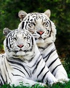 Two Tigers.jpg
