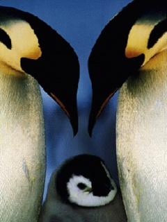Free Penguins 03.jpg phone wallpaper by sassyhoneybee