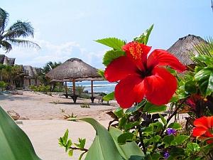 Free Hibiscus on Paamul Beach-Award Winning Photographs phone wallpaper by iamlal2