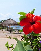 Hibiscus on Paamul Beach-Award Winning Photographs