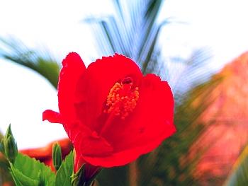 Free Hibiscus-Award Winning Photographs phone wallpaper by iamlal2