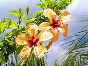 Free Yellow Hibiscus-2-Award Winning Photographs phone wallpaper by iamlal2