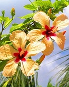 Yellow Hibiscus-2-Award Winning Photographs