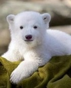 Knut1