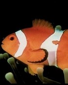clownfish1.jpg