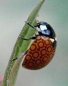 LadyBug Female.jpg