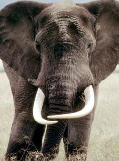 Free Elephant.jpg phone wallpaper by pluckydog