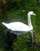 swan.jpg wallpaper 1