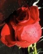 rose l08.jpg