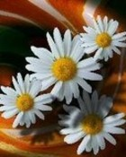 daisy n01.jpg wallpaper 1