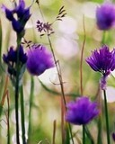 Free wild violet n09.jpg phone wallpaper by cally