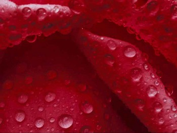 Free Flowers Red Rose w Rain.jpg phone wallpaper by cacique