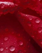 Flowers Red Rose w Rain.jpg