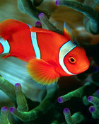clown fish wallpaper 1