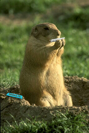Free funny - marijuana hampster rollin weed.jpg phone wallpaper by cacique