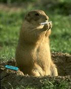funny - marijuana hampster rollin weed.jpg
